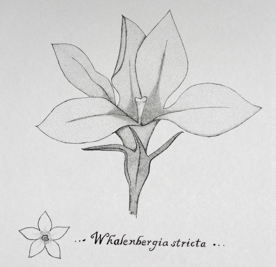 Whalenbergia